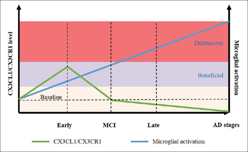 Figure 2: Expression of CX3CR1/CX3CL1 varies at different stages of Alzheimer's disease. During the early stage, CX3CR1/CX3CL1 signaling is low, and moderate microglial activation protects the neurons. At a later stage, when the disease progresses because of neuronal loss, CX3CR1/CX3CL1 signaling diminishes, resulting in microglial over activat